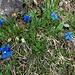 die Enziane blühen