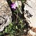 Geranium sylvaticum L. Geraniaceae  Geranio silvano. Géranium des bois. Wald-Storchschnabel.