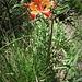 Lilium bulbiferum subsp. croceum (Chaix) Baker<br />Liliaceae<br /><br />Giglio cròceo.<br />Lis safrané.<br />Bulbillenlose Feuerlilie.