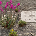 Löwenmäulchen, an den Mauern im Lavaux häufig