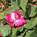 Rose im Rebberg