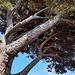 Mächtige Bäume beim Plage de Paulilles