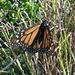 Monarchfalter (Danaus plexippus). Dieser Falter, der in den USA wegen seiner millionenfachen Herbstwanderung nach Mexico bekannt ist, kommt auch auf La Palma vor
