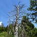 mitten im Grün ein abgestorbener Baum