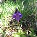 Gemeines Fettblatt (Pinguicula vulgaris)
