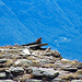 sentinella marmotta