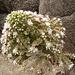 Diese Pflanze scheint nur aus Blüten zu bestehen.<br /><br />Botaniker dürfen gern kommentieren.