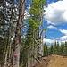 Ungewöhnliche Baumformen am Wegesrand