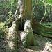 Baumriese (Stammdurchmesser ~ 1,50 m)