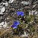 At the summit of Piz Mez... (Spring gentian/Frühlingsenzian/Gentiana verna)