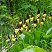 Gelb leuchtende Frauenschuhe im Grüppchen