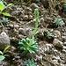 Der Safrangelbe Steinbrech kurz vor der Blüte. In wenigen Wochen sehen sie [http://www.hikr.org/gallery/photo1484674.html so] aus