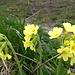Hier oben blühen noch die Schlüsselblumen und weitere schöne Alpenblumen
