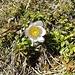 Viele dieser schönen Blumen blühen auf dem Chreialpfirst.