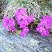 Primulae at Bassa di Nara.