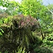 Rhododendron ferrugineum L.<br />Ericaceae<br /><br />Rododendro rosso.<br />Rhododendron ferrugineux.<br />Rostblättrige Alpenrose.