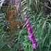 Es grünt so lila, wenn Frankreichs Blüten blühen.