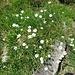 Cerastium uniflorum Clairv.<br />Caryophyllaceae<br /><br />Peverina dei ghiaioni.<br />Céraiste uniflore.<br />Einblütiges Hornkraut.