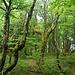 Der für die Gegend typische knorrige Wald auf dem Weg hinunter zum Col de la Schlucht.