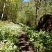 """... durch lichten, jüngeren, Wald mit """"Bärlauchgürtel"""" ..."""