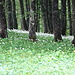 nein, kein Schnee, Bärlauchblüten bedecken den Waldboden