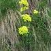 Biscutella laevigata L.<br />Brassicaceae<br /><br />Biscutella montanina.<br />Biscutelle.<br />Glattes Brillenschötchen.