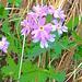 Primula hirsuta All.<br />Primulaceae<br /><br />Primula irsuta.<br />Primevère aà gorge blanche.<br />Rote Felsen-Primel.
