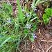 Viola canina L. s.str.<br />Violaceae<br /><br />Viola selvatica.<br />Violette des chiens.<br />Gewöhnliches Hunds-Veilchen.