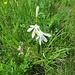 Anthericum liliago L.<br />Asparagaceae (Liliaceae p.p.)<br /><br />Lilioasfodelo maggiore.<br />Anthéric à fleurs de lys.<br />Astlose Graslilie.