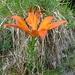 vermutlich eine Feuerlilie - davon gabs mehrere (teils verblüht), bei einer der unzähligen Abkürzungen zur Enderlinhütte