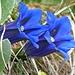 Stengellose Enziane, meine Lieblingsblumen!