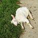 und da lag mitten auf dem Weg eine junge Geiss (Ziege) und machte ein Nickerchen.