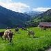 Alp Herrendürren mit vielen Kühen, die sich über das schmackhafte Grass heranmachten.