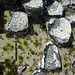 Im Gezeitenbereich leben Muscheln und Seepocken (weiss)