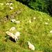 Mampf - frisch geschorene Schafe geniessen das kräftige Gras