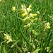 Yellow Rattle - Klappertopf (Rhinanthus)