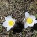Frühlings-Anemonen oder Küchenschellen in der Blüte