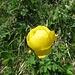 Europäische Trollblume (Trollius europaeus)