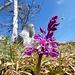 Orchidee am Grat