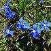 ... zu den Blumen bei der Alp L'Ombriau du Milieu