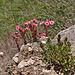 Spinnweb-Hauswurz (Sempervivum montanum)