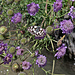 Gemeine Skabiose (Scabiosa triandra) mit Schachbrett-Schmetterling