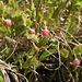 <b>Mirtillo nero (Vaccinium myrtillus).</b>