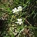 Cerastium uniflorum Clairv.<br />Caryophillaceae<br /><br />Peverina dei ghiaioni.<br />Céraiste uniflore.<br />Einblütiges Hornkraut.