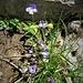Pinguicula vulgaris L.<br />Lentibulariaceae<br /><br />Erba unta comune.<br />Grassette comune.<br />Gemeines Fettblatt.