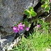 Primula hirsuta All.<br />Primulaceae<br /><br />Primula irsuta.<br />Primevère à gorge blanche.<br />Rote Felsen-Primel.