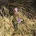 Soldanella pusilla Baumg.<br />Primulaceae<br /><br />Soldanella della silice.<br />Petite soldanelle.<br />Kleines Alpenglöckchen.