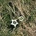 Gentiana acaulis L. var. albiflorus<br />Gentianaceae<br /><br />Gentiana di Koch.<br />Gentiane de Koch.<br />Silikat-Glocken-Enzian.<br />