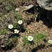 Ranunculus glacialis L.<br />Ranunculaceae<br /><br />Ranuncolo dei ghiacciai.<br />Renoncule des glaciers.<br />Gletscher Hahnenfuss.
