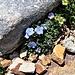 Eritrichium nanum (L.) Gaudin<br />Boraginaceae<br /><br />Eritrichio nano.<br />Eritrichie nane.<br />Himmelsherold.